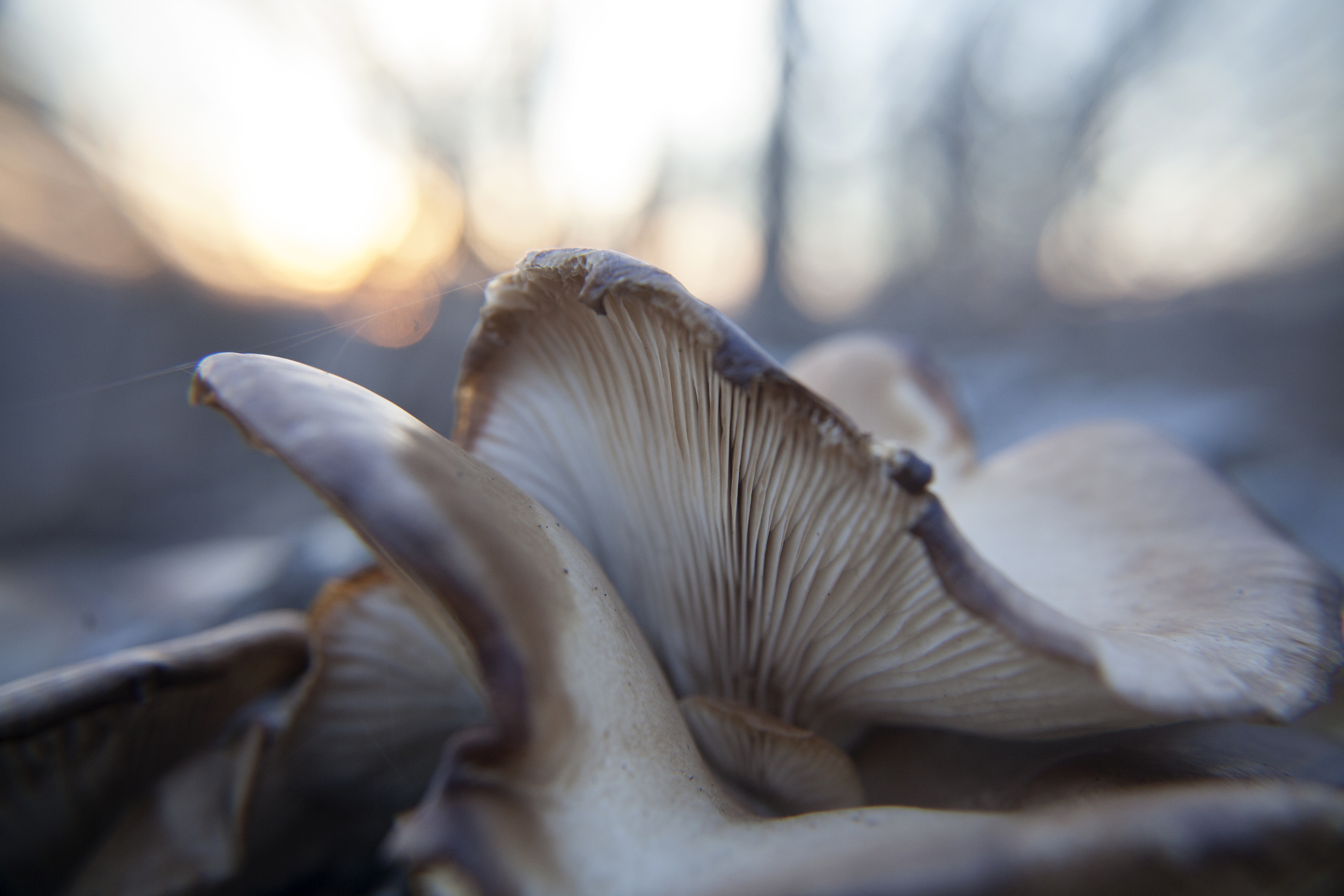 This beautiful wild mushroom makes me think of an evening gown turned upside down.