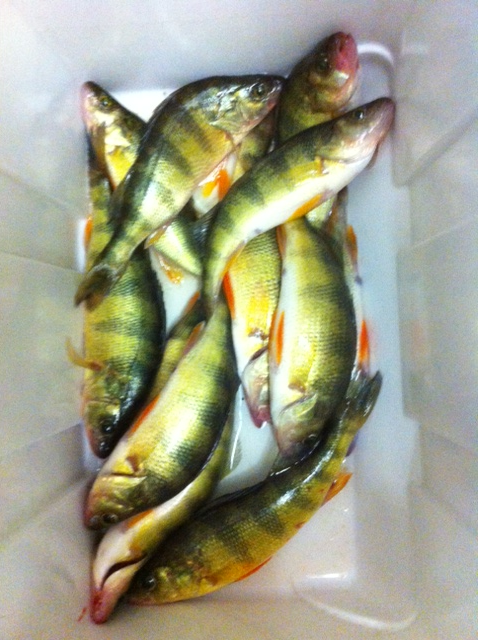 The lake is full of 10 - 14 inch yellow perch with a chance at one even larger.