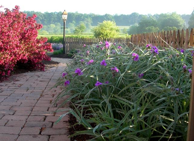 A garden path bordered by spiderwort and weigela.