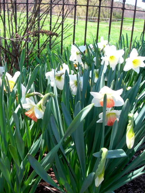 The peach faced daffodils are my favorite.