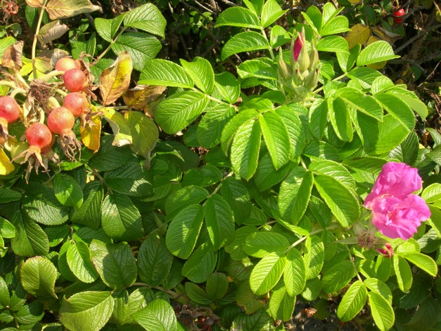 Rosa Rugosa and rose hips on the beach path.