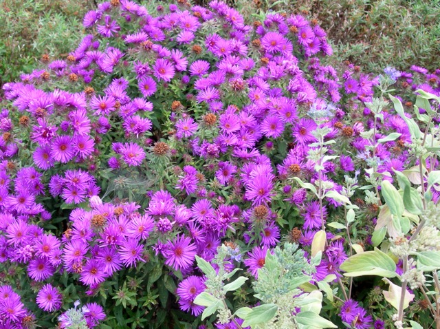 Asters = Autumn