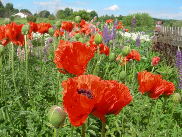 Poppies and lupines.
