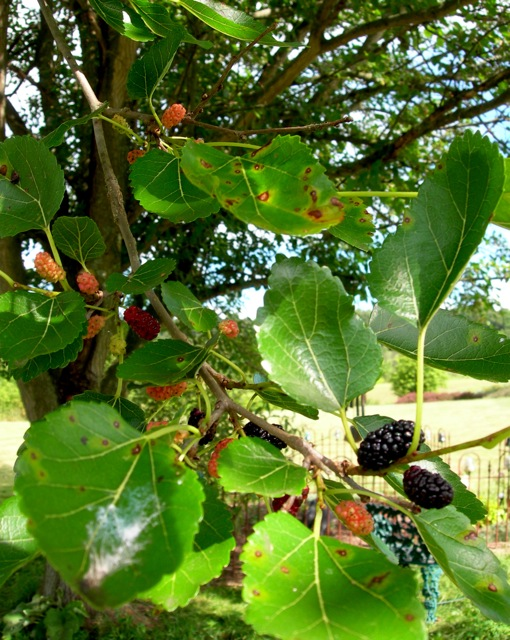 The mulberry tree by the cemetery is filled with berries.  All sorts of animals come to feast.