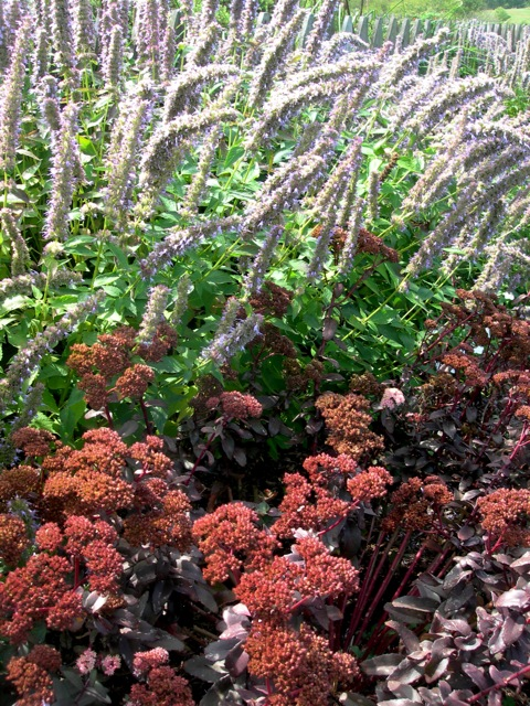 I love this dark sedum backed by anise hyssop.