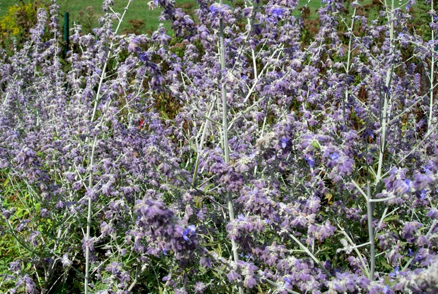 My favorite Russian sage is bedraggled, but still attracts big fat bees.