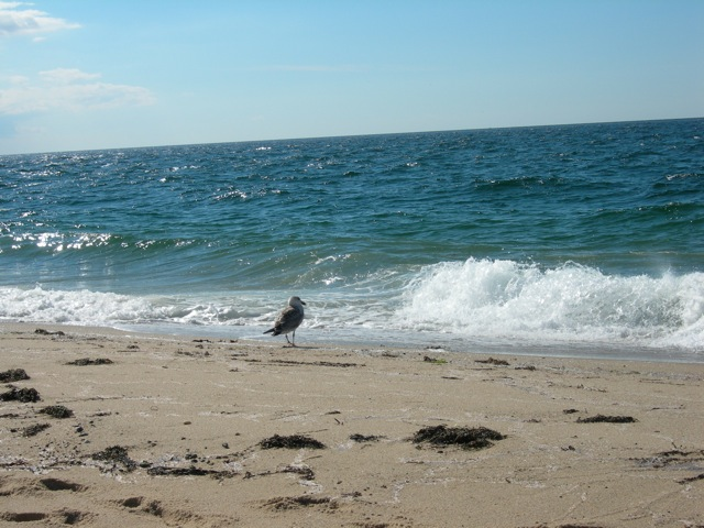 Perhaps this gull is waiting for his meal to wash ashore.