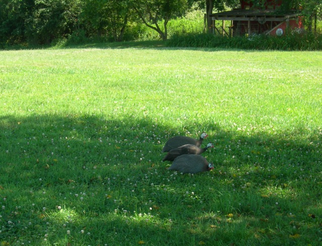 We always welcome our neighbors' guinea fowl, who eat ticks and other insects.