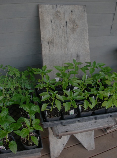 Hot pepper and tomato plants. Hoping for a better growing season this year!