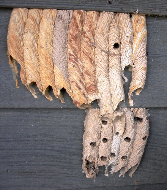 I find these mud-dauber wasp tubes fascinating.