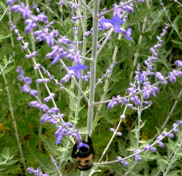 Another of my favorite perennials is Russian sage. It's beautiful to look at and it smells so good! The big fat bees love it, too.