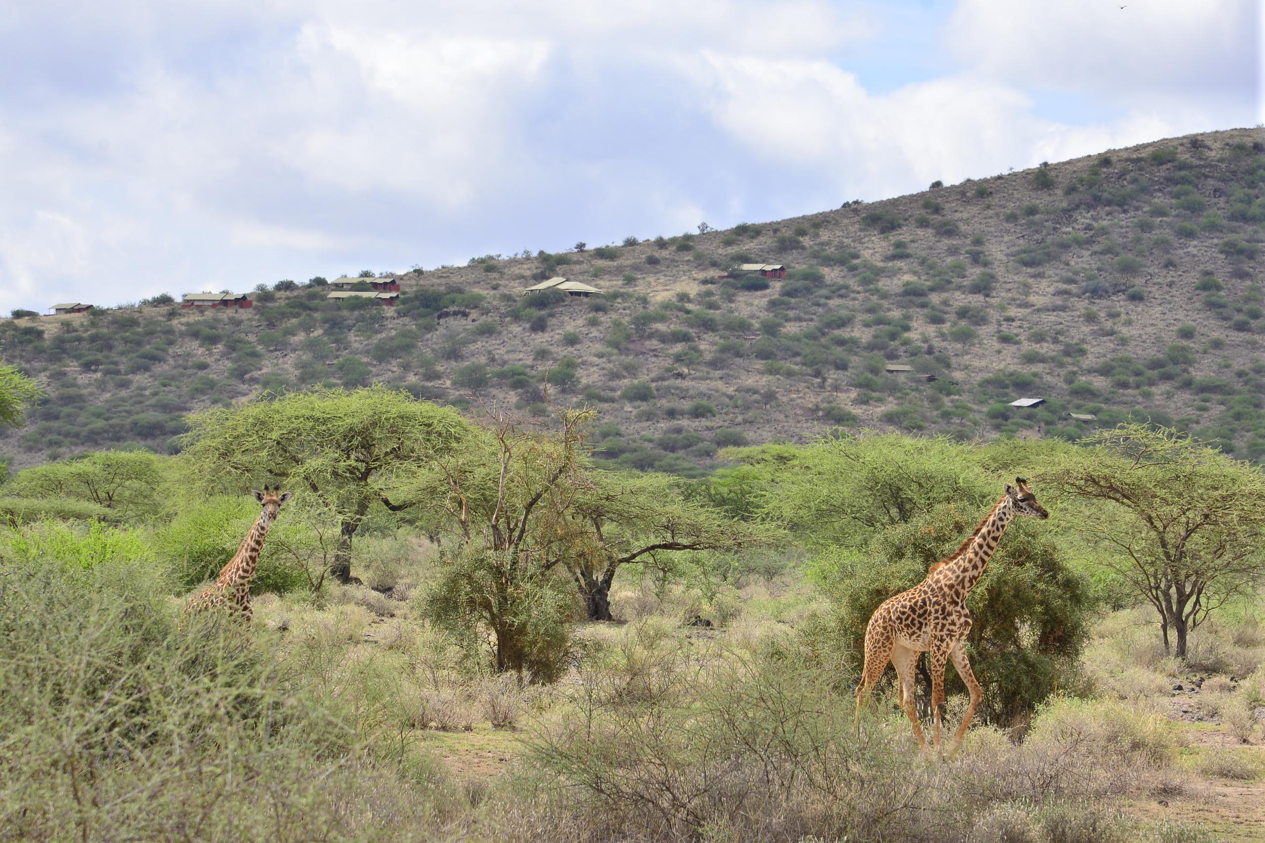 Giraffes infront of Shumata.JPG