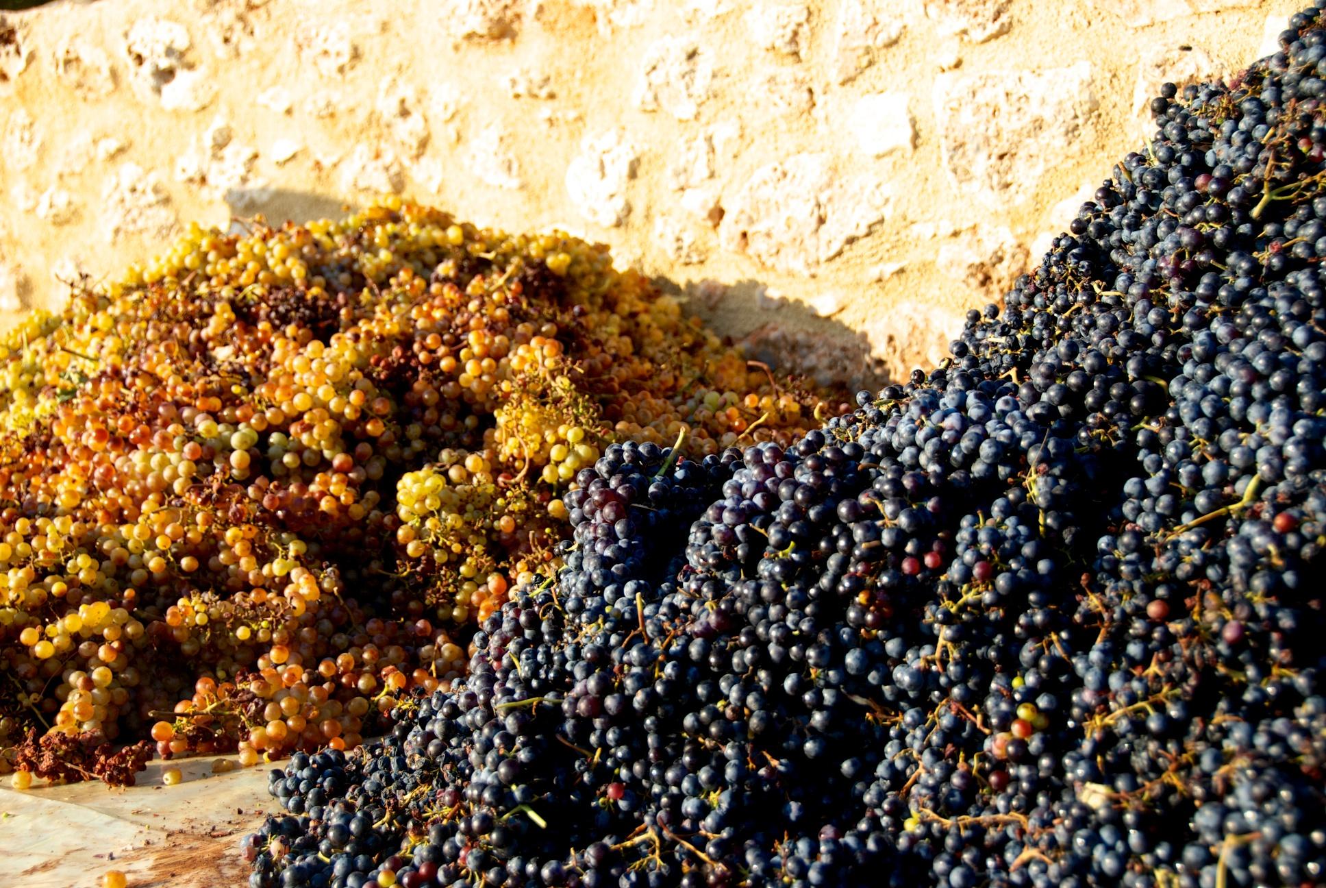 2012 September, Grape Harvest Stathis (36).jpg
