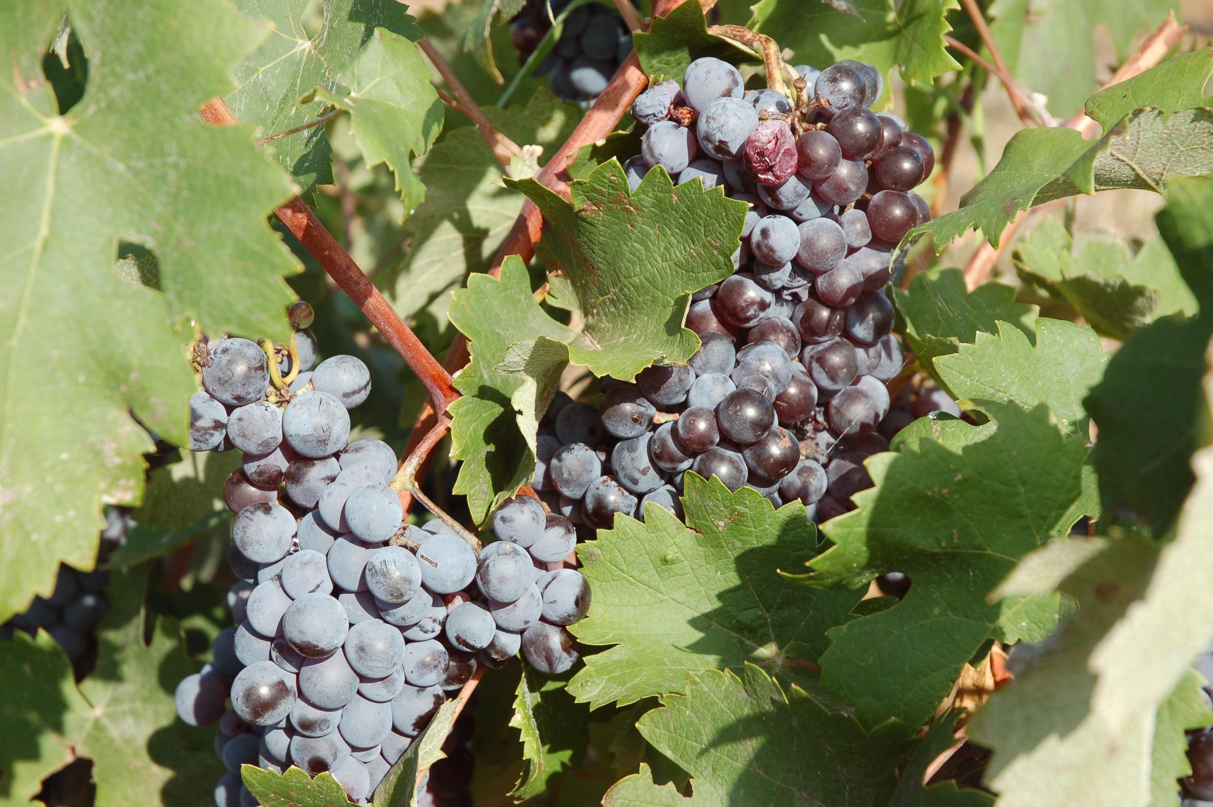 Organic Grapes.JPG