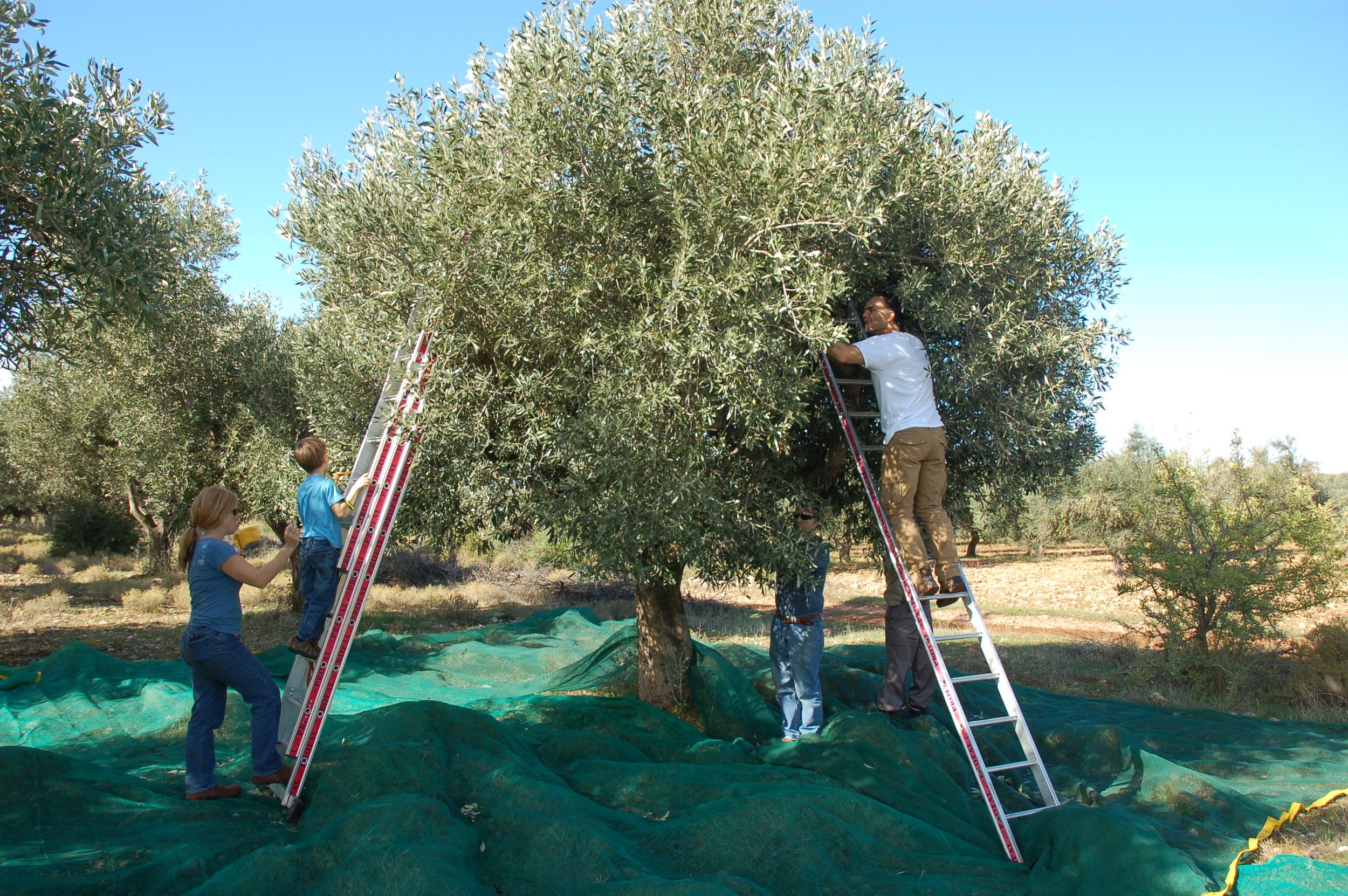 Picking Olives 3.JPG
