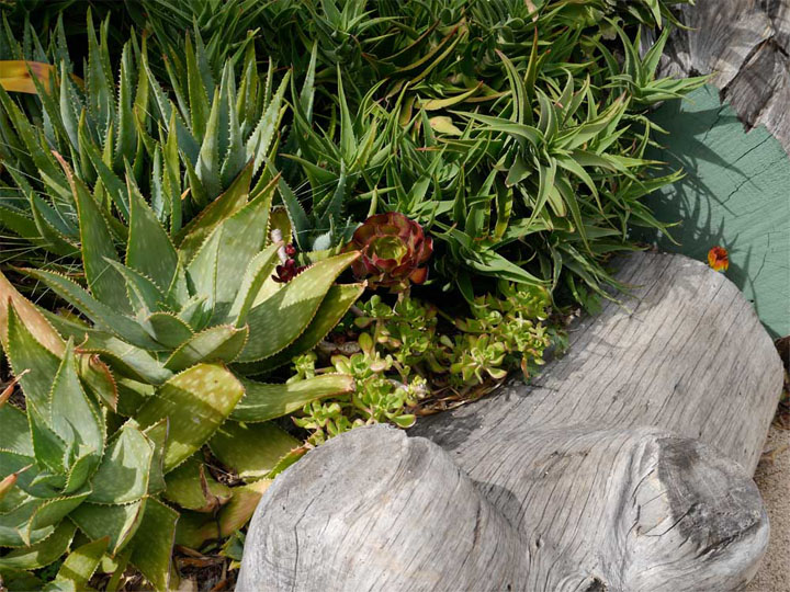 The forms of these succulents create a richly textured living carpet.
