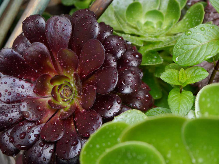 The solid waxy texture of these aeoniums gives them the appearance of living sculptures.