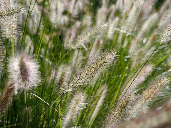 Doesn't the sun kissing the windswept pennisetum make you want to get your cambric shift on and go all Kate Bush?