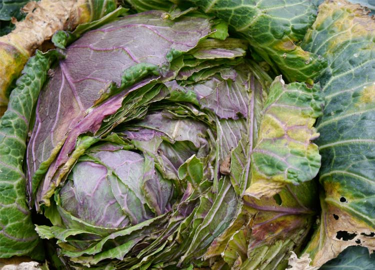 Possibly the most beautiful cabbage I've ever seen.