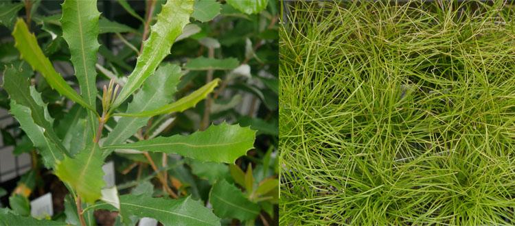 Banksia integrifolia and Lomandra confertifolia in the 'free plants' section.