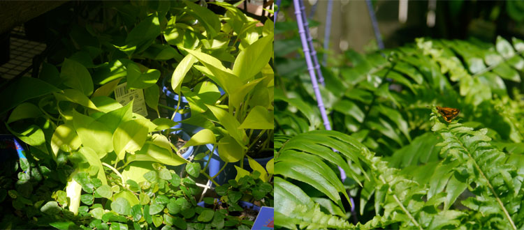 Pothos 'Goldilocks' and a friendly visitor in the shade-lovers area...naturally the only time the sun came out!