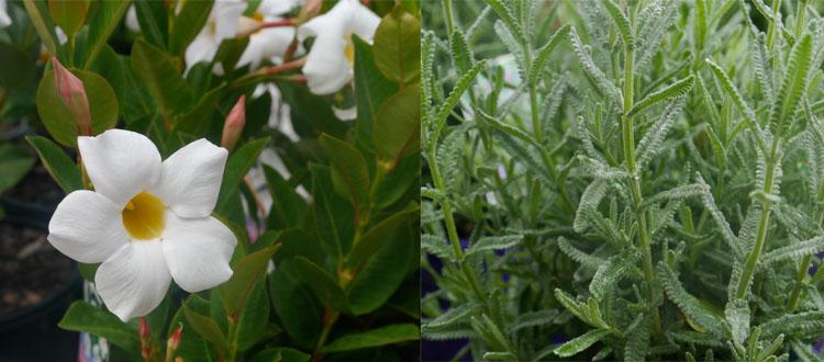 Dipladenia and Lavender.