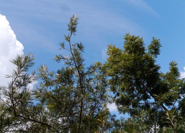 Grevillea and Silky Oak shine in the sun.