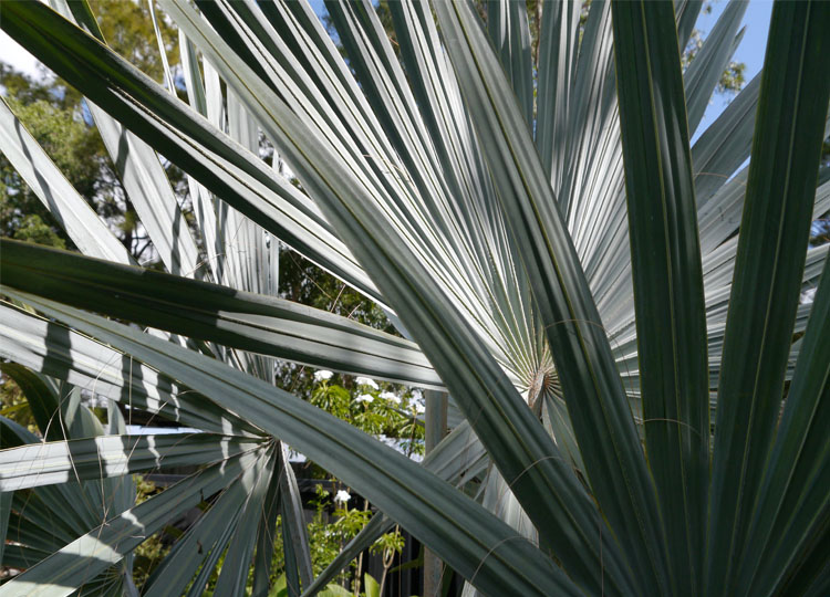A stunning Bismarckia nobilis (Bismarck Palm).