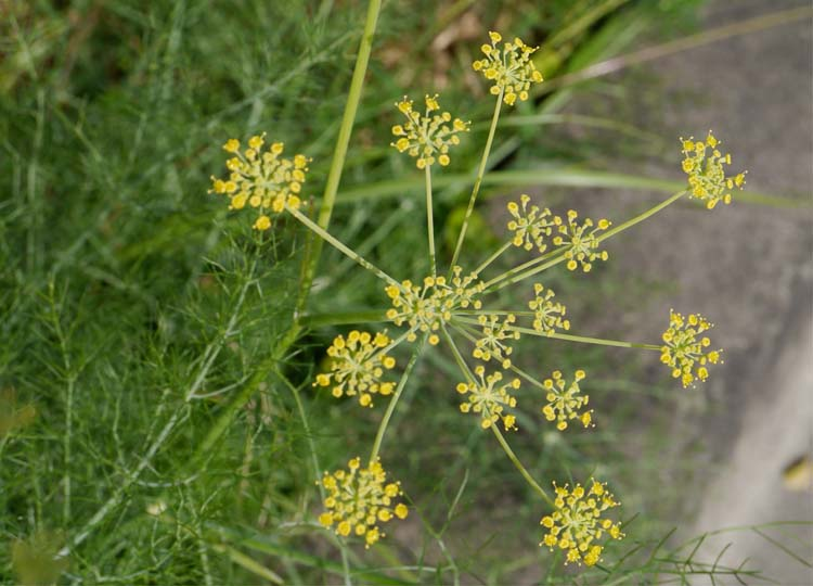 Lovely fennel flowers.