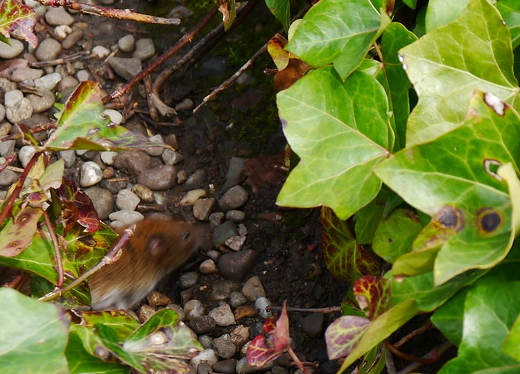 A small resident dashes through a gap in the planting.