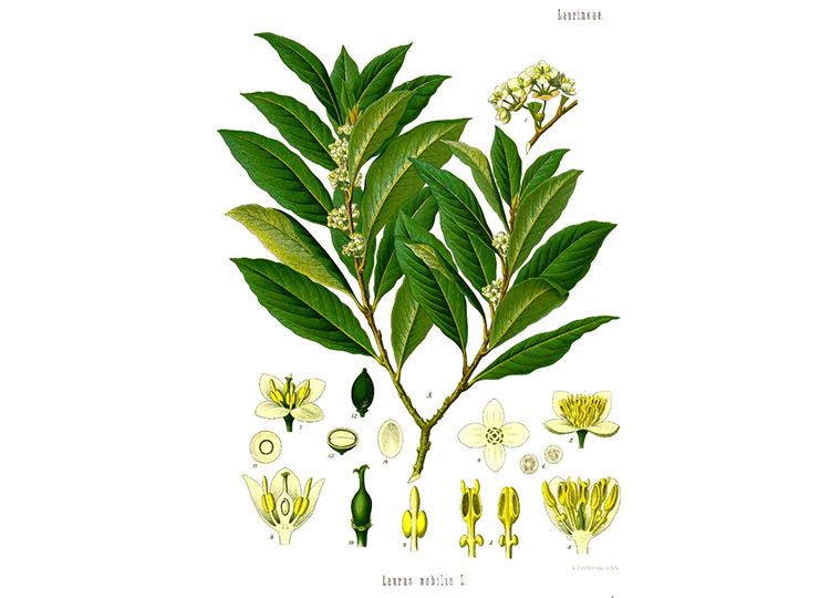 Laurus nobilis. Image via Wikimedia Commons.