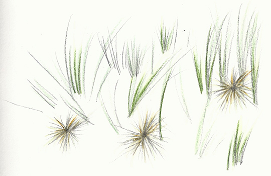 Spinifex sericeous