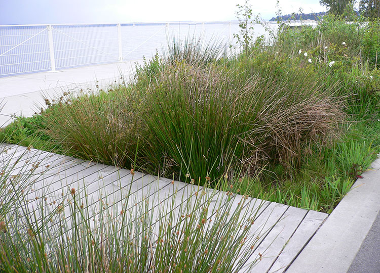 Coastal planting at Olympic Sculpture Park, Seattle.