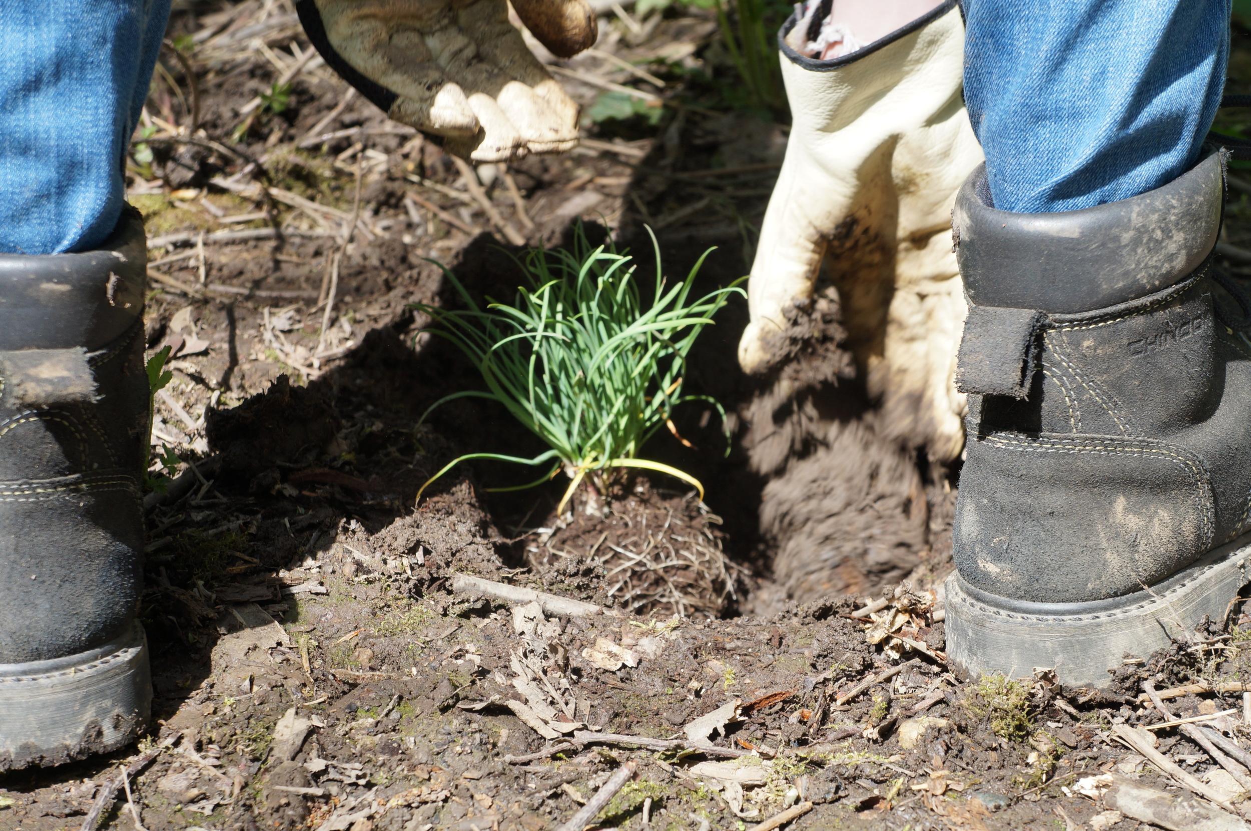 Allium cernuum / nodding onion