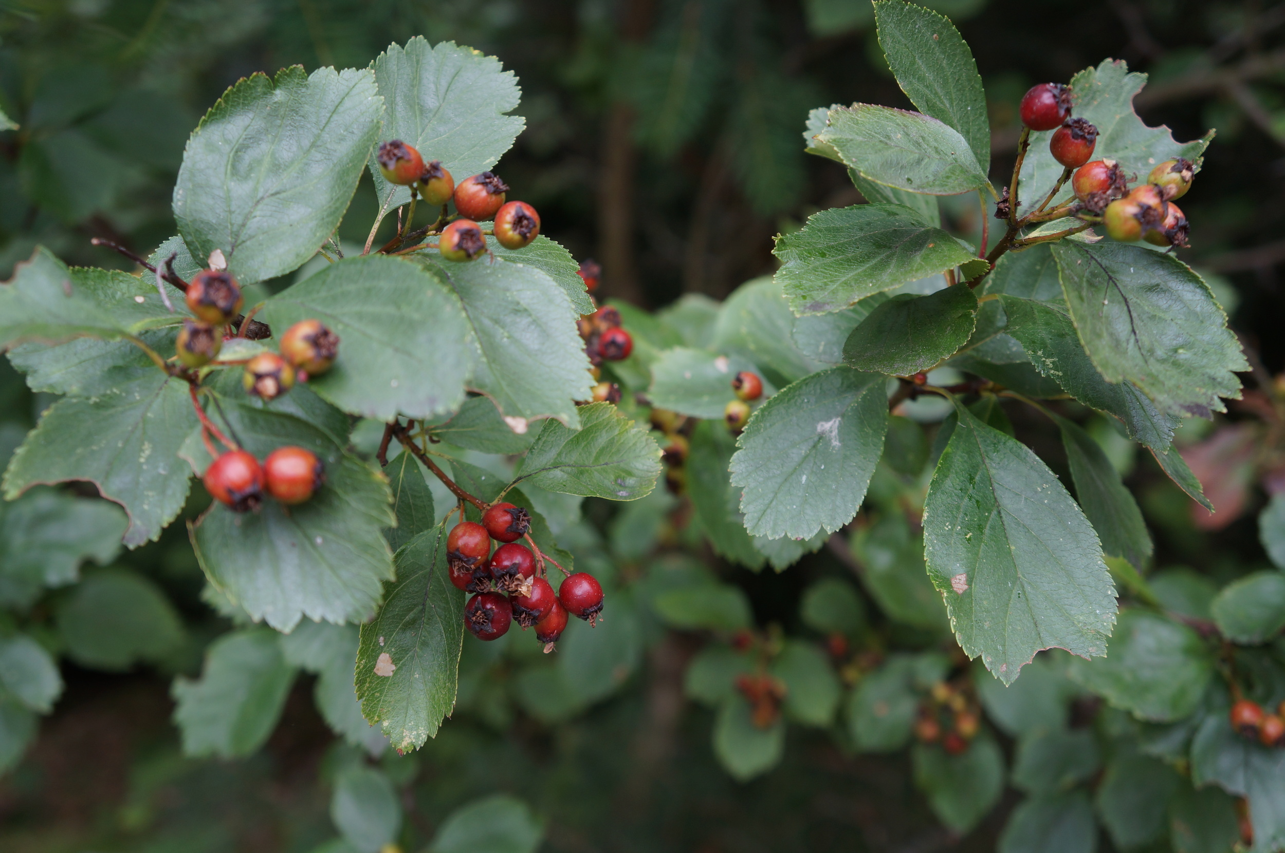 Native   Crataegus Douglasii  / Douglas' hawthorn , not to be confused with the noxious  common hawthorn /  Crataegus monogyna .  They have much different leaves (see below) and unfortunately you almost always encounter the weedy one.