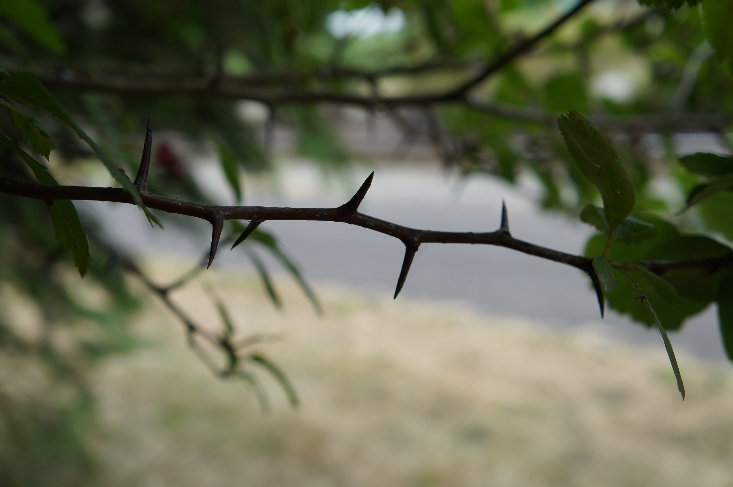 Native  Crataegus Douglasii / Douglas' hawthorn has some wicked thorns (as does the noxious sp.)