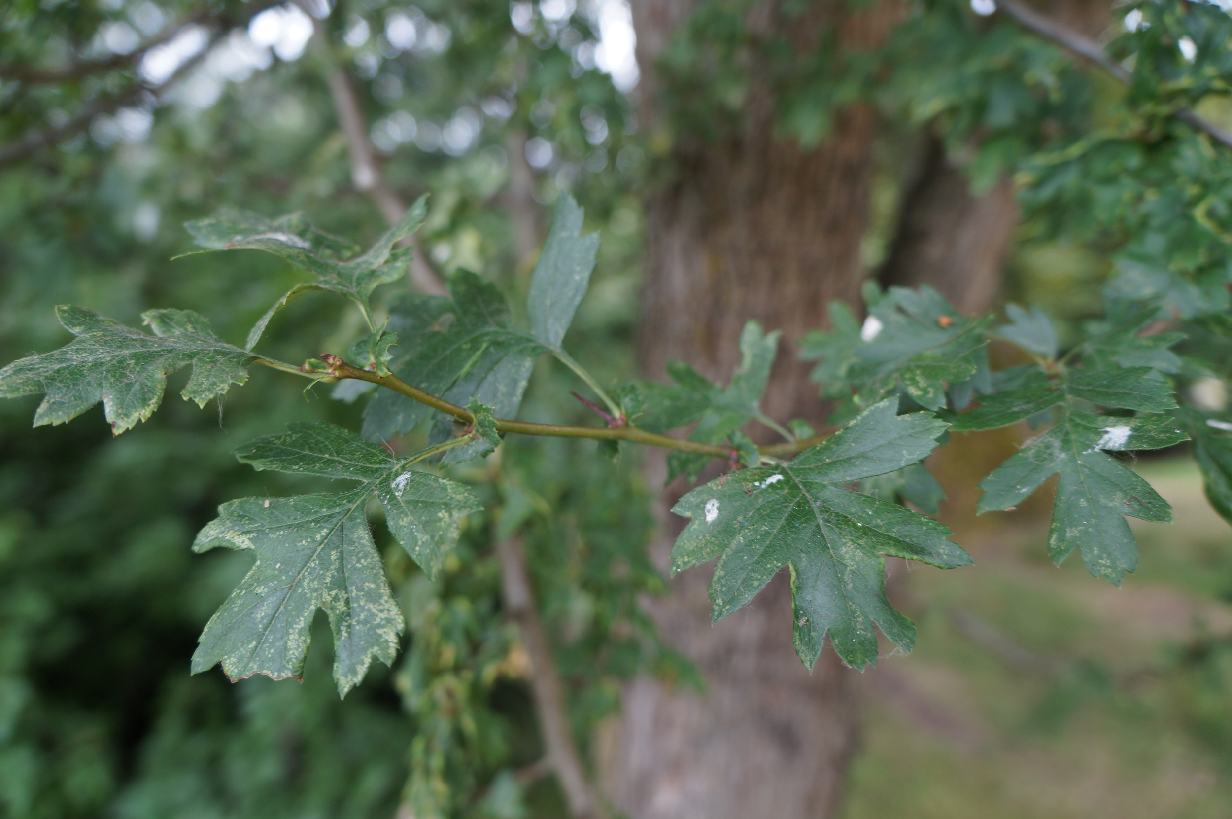 The  noxious  common hawthorn /  Crataegus monogyna   showing it's more divided leaves.