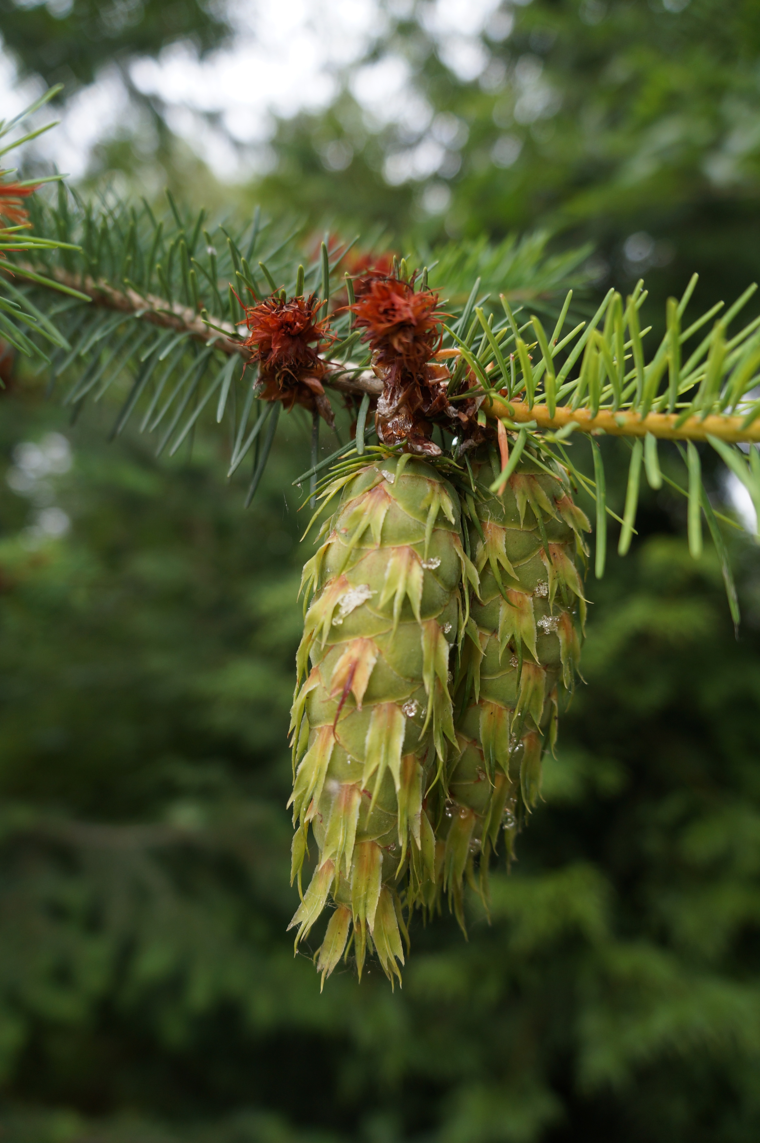 Female flowers and a maturing cone on a Douglas fir /  Pseudotsuga menziesii.  The female flowerswill ripen into cones after being wind-pollinated by the little male flowers.