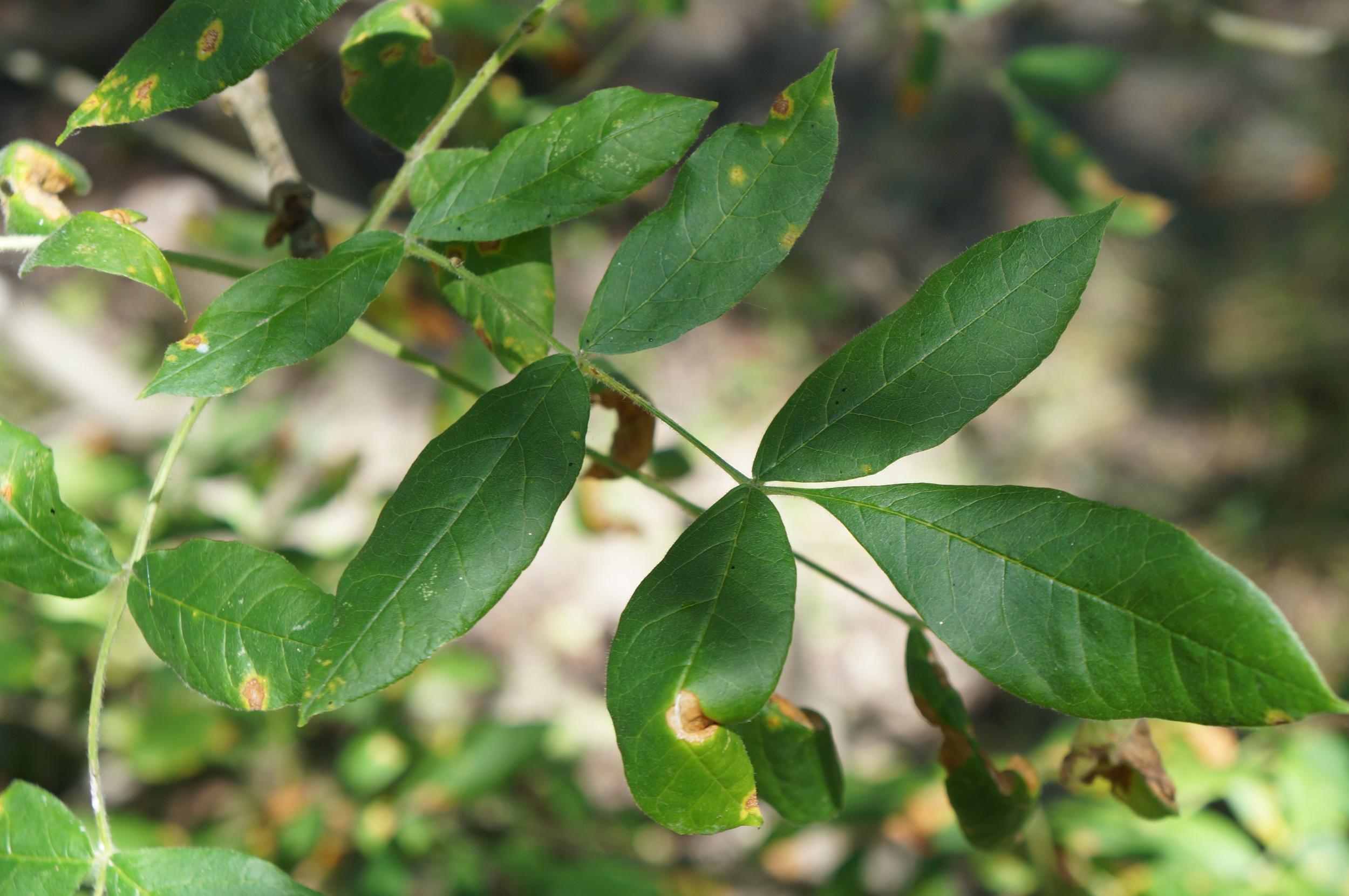 Oregon ash / Fraxinus latifolius