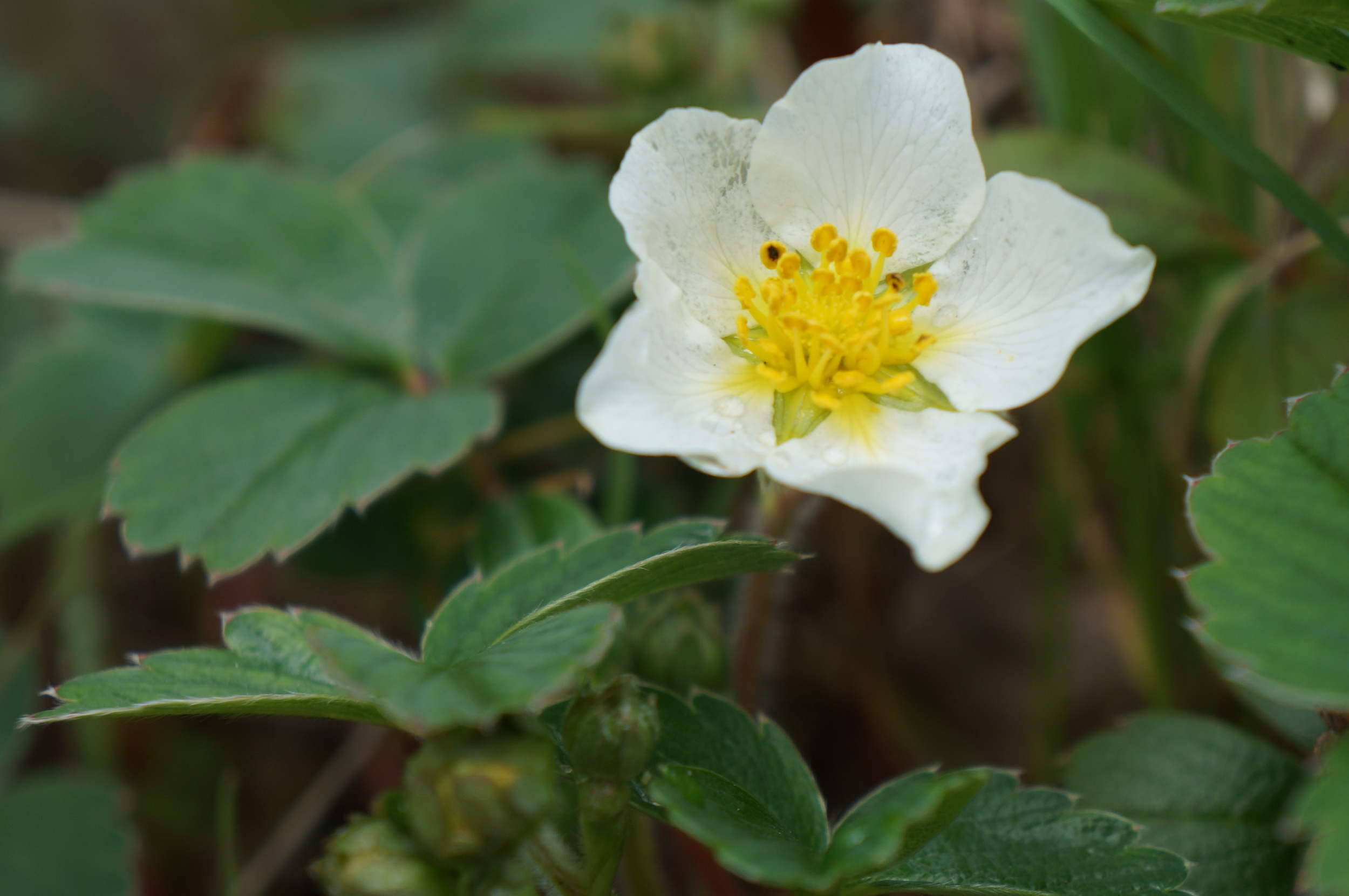 Native strawberry flower.