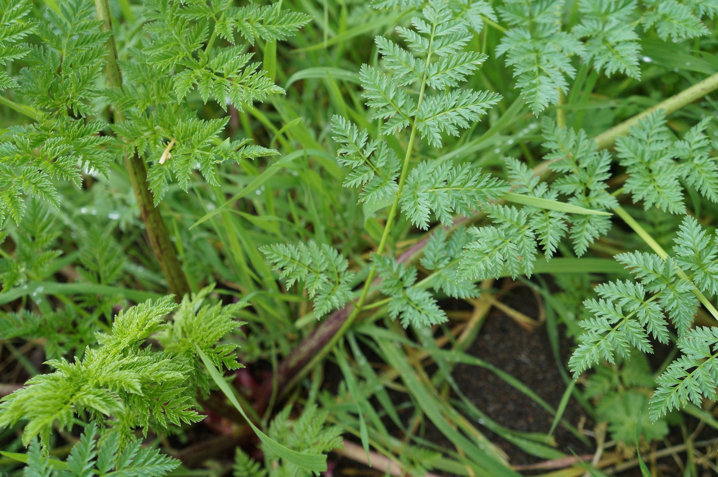 Conium maculatum / poison hemlock showing telltale purple blotchy stem base, though it still can be tough to ID from other carrot-family species such as cow-parsnip & Queen Anne's lace.