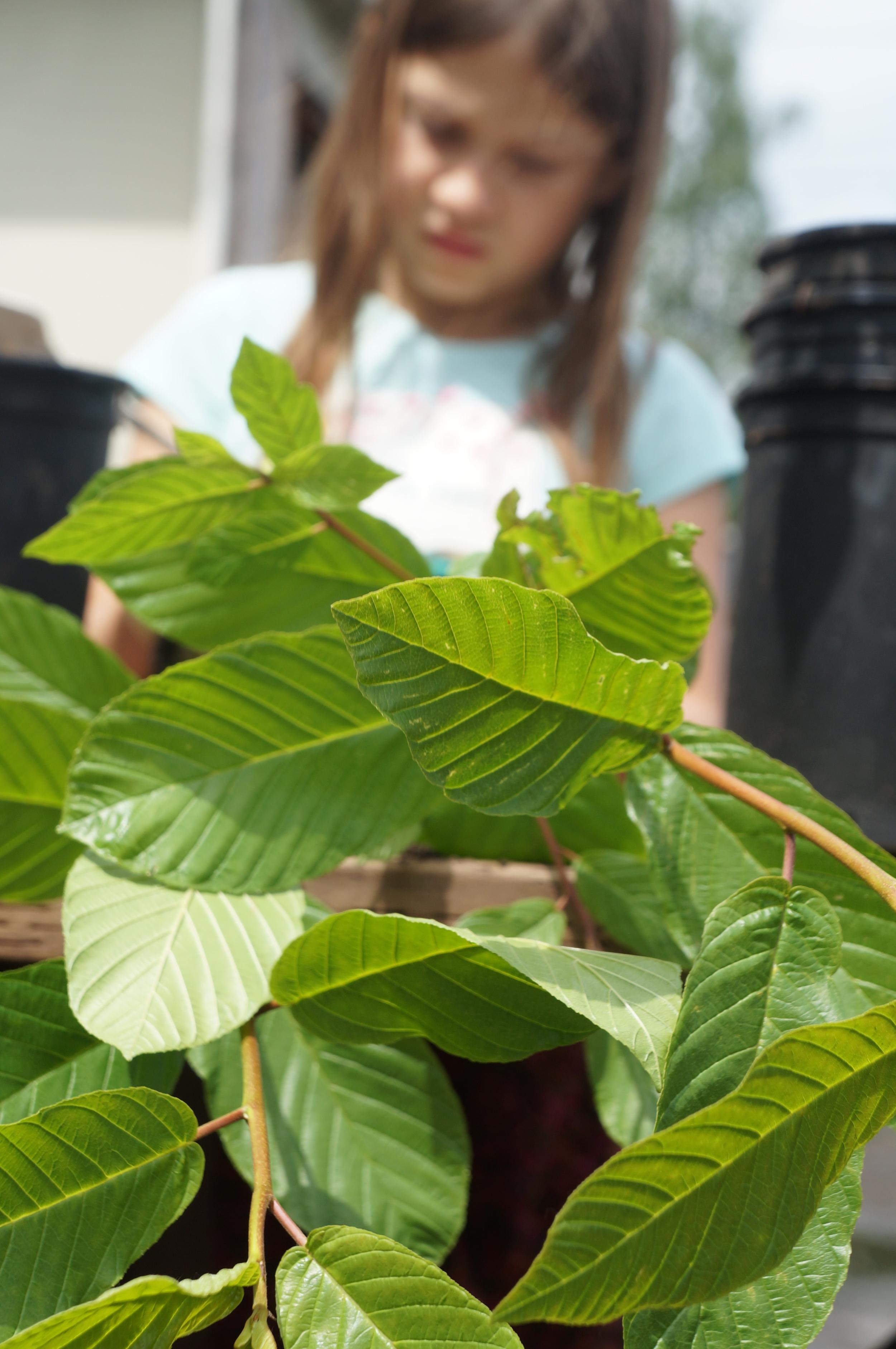 Cascara /   Rhamnus purshiana  A charming small native tree.