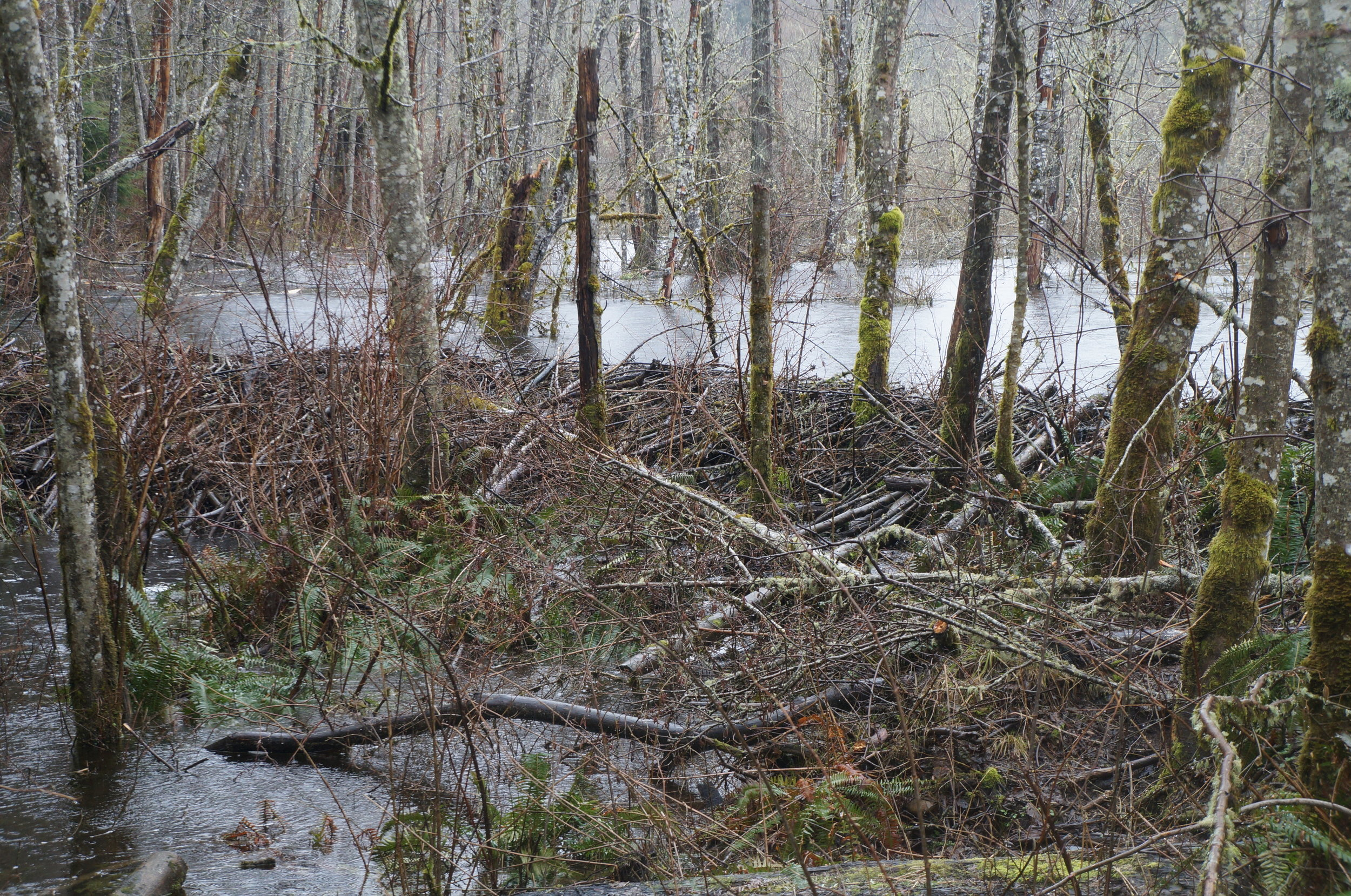 An impressive beaver dam seen from the road into the site