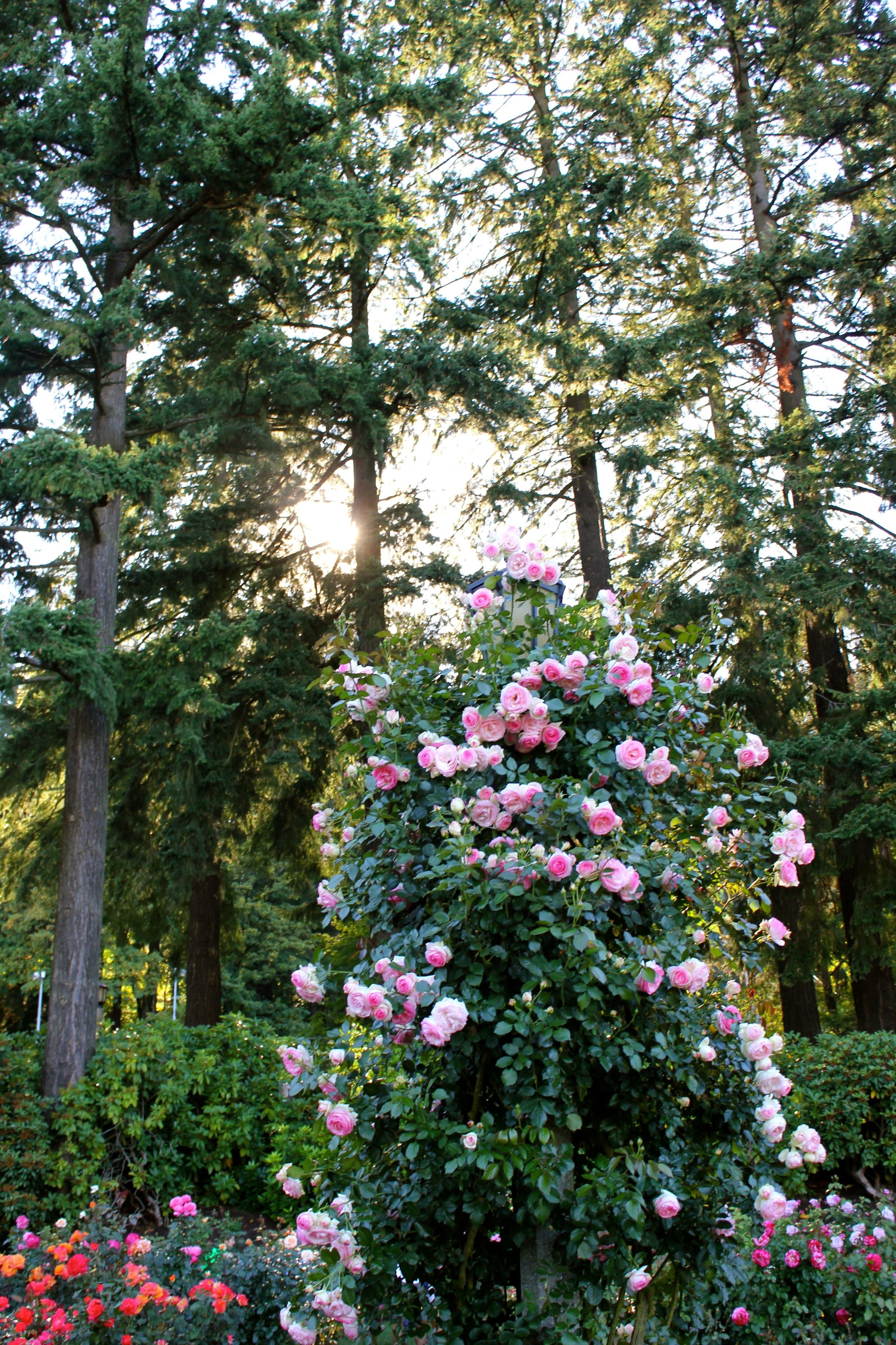 The rose gardens  - Portland, OR