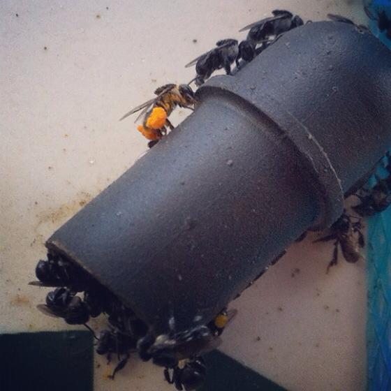 bees collecting pollen.jpg