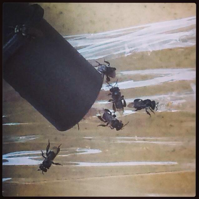 bees eating glad wrap.jpg
