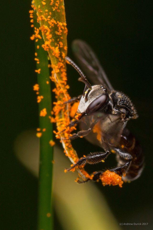 foraging bee.jpg