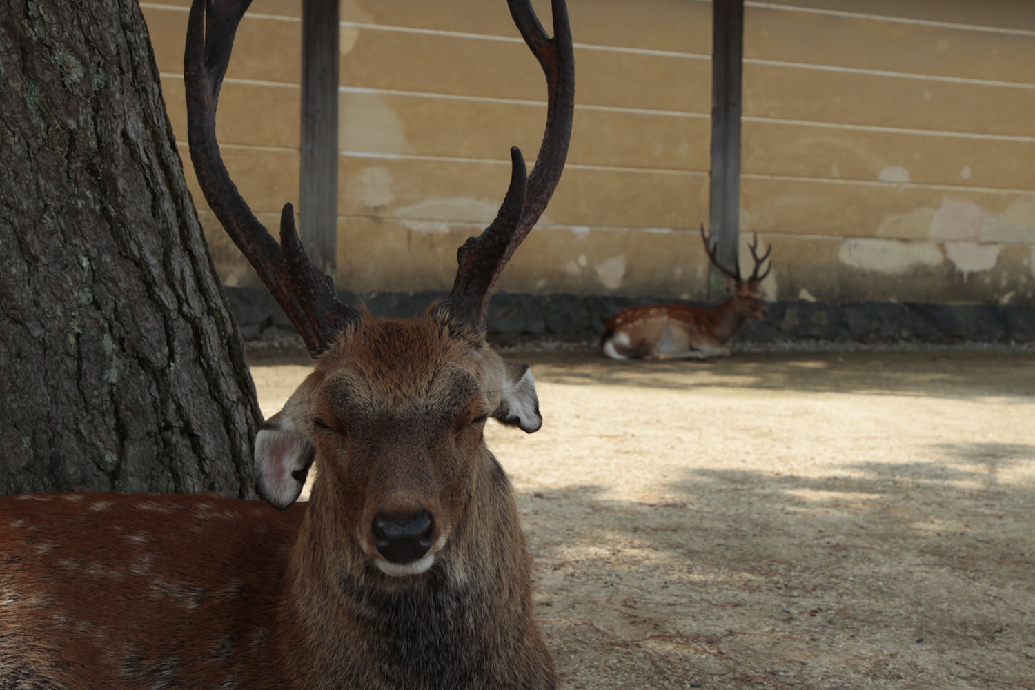 This is one of the famous deer that live among the temples and shrines of Nara. If you feed the deer, they chase after you. I do not believe there is an elegant way to do this.
