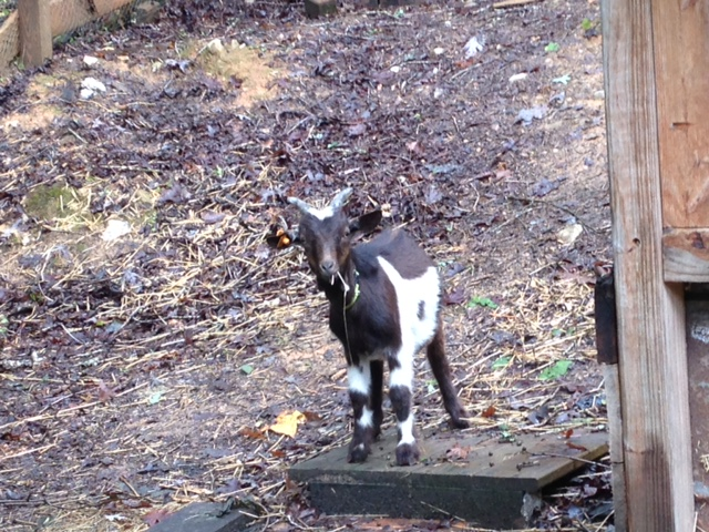 Roscoe gives the goat barn two hooves up!...I've learned that goats can watch humans work for hours...