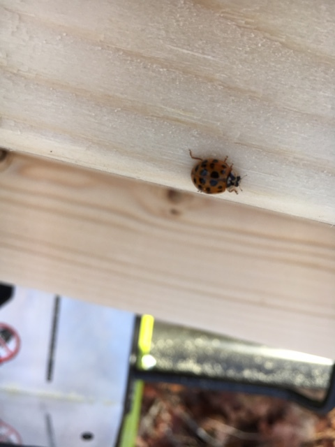 Ladybugs on a job site are supposed to be good luck. This one almost crawled into the path of my miter saw!